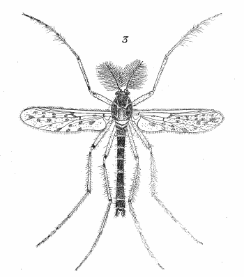 Figure : Protenthes punctipennis