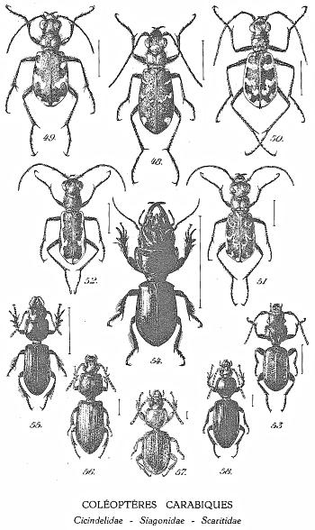 Figures : coléoptères carabiques
