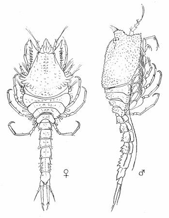 Figure : Nannastacus unguiculatus