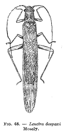 Figure : Leuctra despaxi Mosely.