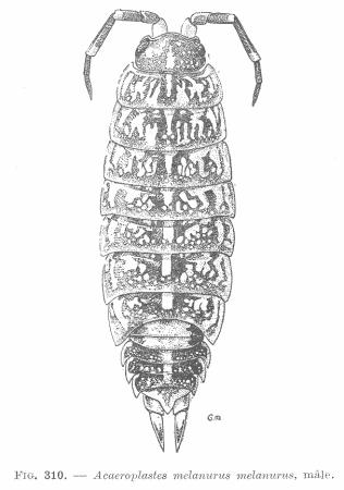 Figure : Acaeroplastes melanurus melanurus