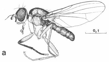 Figure : Pteromicra glabricula