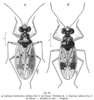 Figures : Leptopus marmoratus et Leptopus hispanus
