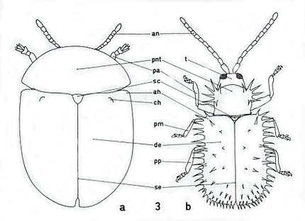 Figure : Casside a nommer