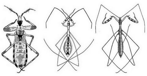 Figure : Reduvidae