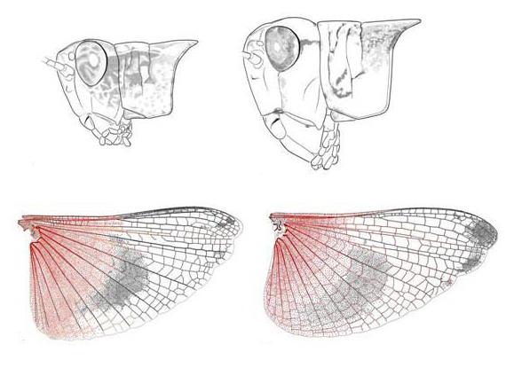 Figures : Pentatomoidea divers